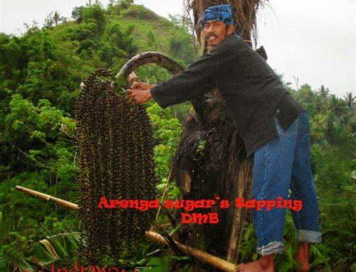 Perjalanan Panjang Gula Aren Dari Hutan Sampai ke Dapur Anda